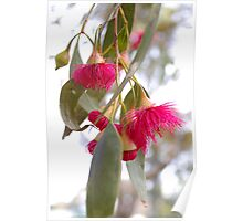 Gum Blossom Poster