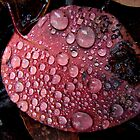 Dew on Eucalypt leaf - Wielangta Forest, Tasmania by Eve creative photografix