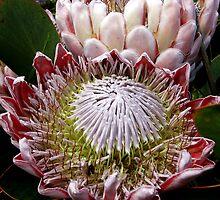 Protea by Eve creative photografix
