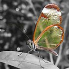Glasswing by Trevor Fellows