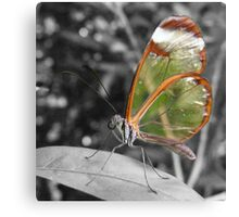 Glasswing Canvas Print