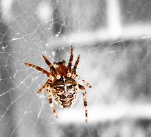 Garden spider by Trevor Fellows