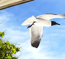 Laughing Seagull by Wooskissey