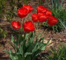 Red Tulips by greyrose