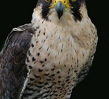 Falcon on Black by ApeArt