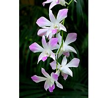 Soft Orchids Photographic Print