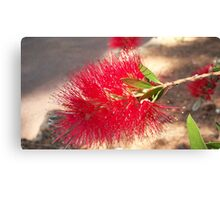 Australian flower Canvas Print