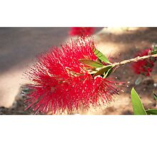 Australian flower Photographic Print