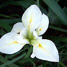 White Iris by Glenna Walker