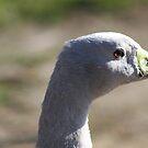 Cape Barren Goose by sarah ward