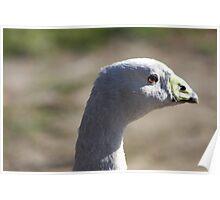 Cape Barren Goose Poster