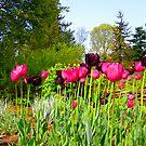 Tulip Lane by Robxavier
