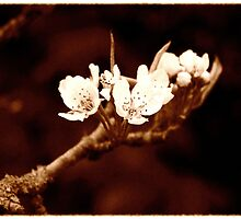 Vintage Bramley Blossom by James Stevens