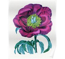 Paeonia Russi  or Russ's Paeony Poster