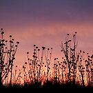 Thistles,Barrabool Hills by Joe Mortelliti