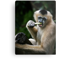 White Cheeked Gibbon Metal Print