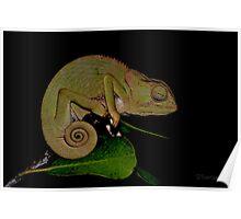 Changing Colour - Chameleon (Chamaeleonidae) Poster