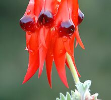 Desert pea after rain by Christopher Clarke