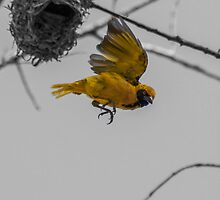 African Masked Weaver (Ploceus velatus) by Deborah V Townsend