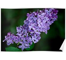Lovely in Lilac Poster