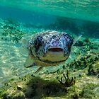 Inquisitive Puffer Fish (Tetraodontidae) by Deborah V Townsend