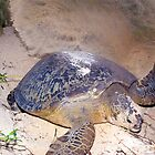 Nesting female green turtle by David Wachenfeld