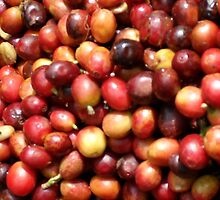 HARVESTED COFFEE BEANS by gerardog