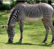 Grevy's Zebra by lisa1970
