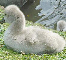 Peek-A-Boo - Two Black Swan Cygnets by AARDVARK
