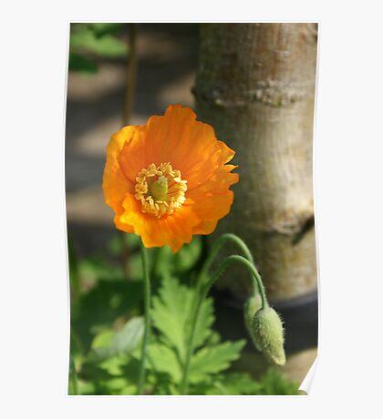 Orange Poppy I Poster