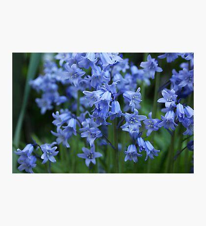 Bluebells III Photographic Print