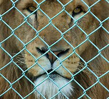 Caged Lion #2 by amjaywed