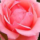 Blushing Rose by WildestArt