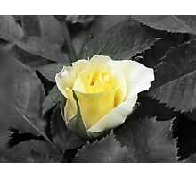 Rose of Friendship Photographic Print