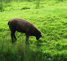 Black Sheep by brucemlong