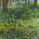 Bluebell Carpet by Ann Garrett