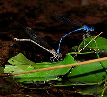 Damselflies a Dancin' by Dennis Jones - CameraView