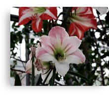 lily 13 Canvas Print