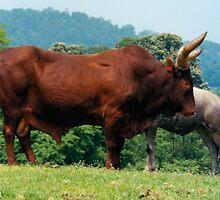 Brahma Bull by Tom Gomez