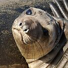 Northern  Elephant Seal pup by Eyal Nahmias