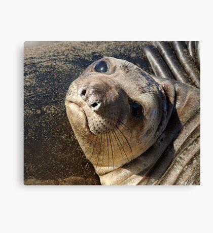Northern  Elephant Seal pup Canvas Print