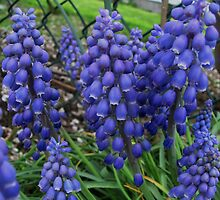 Grape Hyacinths by LavenderMoon