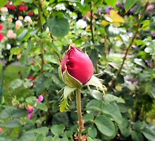 Photography: Nature: A red rose in a garden in Vienna, Austria. by Barberelli