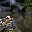 Mandarin Duck by Mary Broome