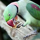 Alexandrine Parrot by Mary Broome