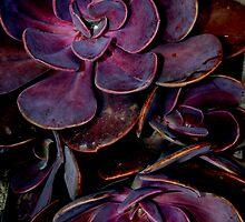 velvet aubergine cactus by Daniella