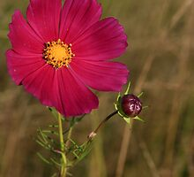 Red Cosmos by Ashley Crookes