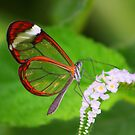 Transparent Butterfly  by jdmphotography