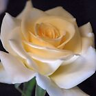 """MY   """"VIRGINIA"""" ROSE WITH EXCEPTIONAL BEAUTY by Magaret Meintjes"""
