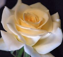 """MY   """"VIRGINIA"""" ROSE WITH EXCEPTIONAL BEAUTY by Magriet Meintjes"""